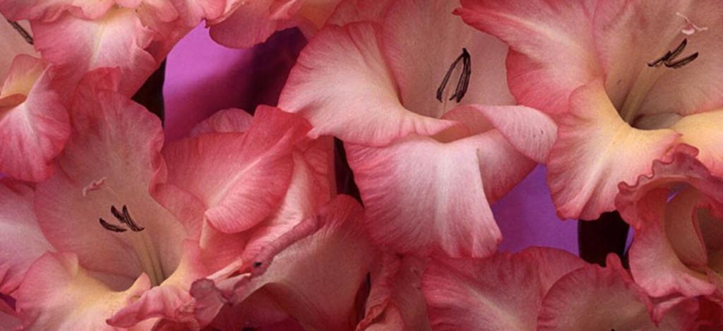 gladiolus_big
